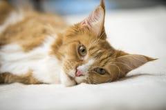 Gato de gato malhado vermelho de Maine Coon Fotografia de Stock