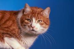 Gato de Ginger European, Foto de archivo