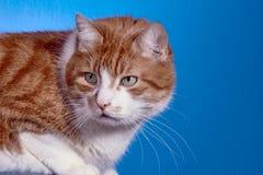 Gato de Ginger European, Fotografía de archivo
