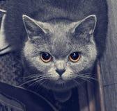 Gato de Gray Scottish, retrato do close-up da cara imagens de stock royalty free