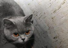 Gato de Gray Scottish, retrato do close-up da cara fotografia de stock royalty free