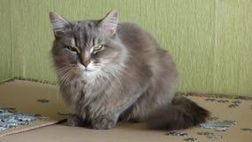 Gato de Gray Siberian que senta-se e que olha proximamente na câmera vídeos de arquivo