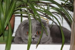 Gato de Grey Scottish Fold Imagenes de archivo