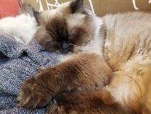 Gato de Himilayan fotografia de stock royalty free
