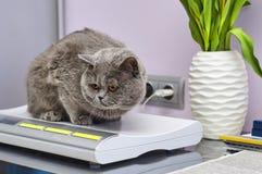 Gato de Ingleses Shorthair em escalas Imagens de Stock