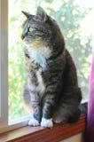 Gato de interior que deseaba él estaba afuera Imagen de archivo libre de regalías