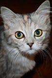 Gato de Kitty que mira la cámara Imagen de archivo libre de regalías