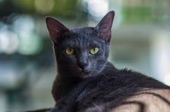 Gato de Korat Fotos de archivo