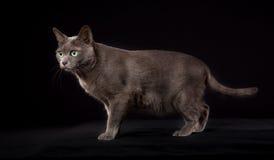 Gato de Korat do puro-sangue Imagens de Stock