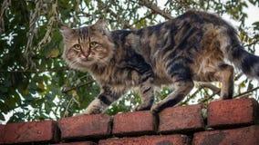 Gato de la calle que mira fijamente de una pared de ladrillo Fotos de archivo