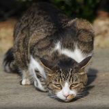 Gato de la caza Imagen de archivo libre de regalías