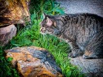 Gato de la caza Imágenes de archivo libres de regalías