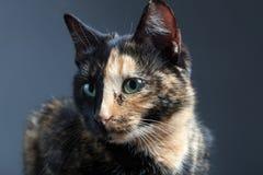 Gato de la concha en backrgound gris Fotos de archivo