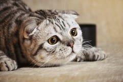 Gato de la emoción que miente en el sofá Fotografía de archivo libre de regalías