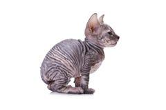 Gato de la esfinge Fotografía de archivo libre de regalías