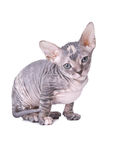 Gato de la esfinge Fotos de archivo libres de regalías