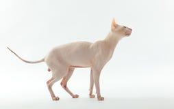 Gato de la esfinge Imagenes de archivo