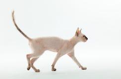 Gato de la esfinge Imagen de archivo libre de regalías