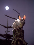 Gato de la esfinge Foto de archivo