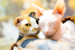 Gato de la esfinge Foto de archivo libre de regalías
