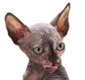 Gato de la esfinge en blanco fotografía de archivo libre de regalías
