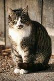 Gato de la granja Fotografía de archivo