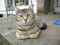 Gato de la granja Foto de archivo