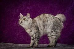 Gato de la Isla de Man Fotos de archivo