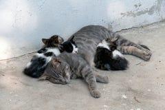 Gato de la madre Imagen de archivo