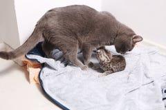 Gato de la madre con los bebés Imágenes de archivo libres de regalías