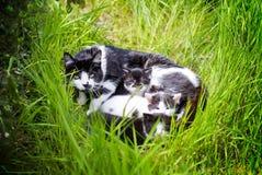 Gato de la madre con los gatitos jovenes Imagen de archivo