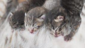 Gato de la madre y gatitos recién nacidos almacen de metraje de vídeo