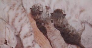 Gato de la madre y gatitos recién nacidos metrajes