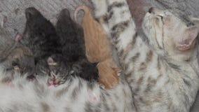 Gato de la madre y gatitos recién nacidos almacen de video
