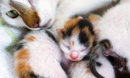 Gato de la madre y 3 gatitos viejos de los días Foto de archivo