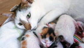 Gato de la madre y 3 gatitos viejos de los días Fotografía de archivo libre de regalías