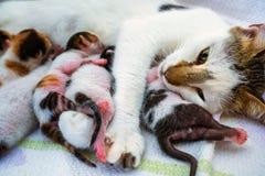 Gato de la madre y 3 gatitos viejos de los días Foto de archivo libre de regalías