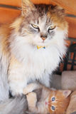 Gato de la madre y pequeño gatito Fotografía de archivo