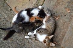 Gato de la mamá y sus bebés foto de archivo libre de regalías
