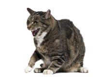 gato de la Mezclado-raza con la boca abierta, aislada imagenes de archivo