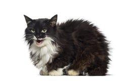 gato de la Mezclado-raza que se sienta delante del fondo blanco foto de archivo libre de regalías