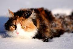 Gato de la nieve Fotografía de archivo libre de regalías