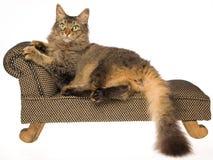 Gato de la ondulación permanente del La en el mini sofá en el fondo blanco Imagenes de archivo