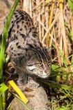 Gato de la pesca que acecha a través de hierba larga Imagenes de archivo