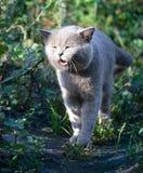 Gato de la raza británica en hierba verde fotografía de archivo libre de regalías