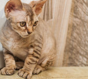 Gato de la raza de Devon Rex Fotografía de archivo