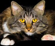 Gato de la raza de la mezcla de la cola cortada del americano del primer foto de archivo libre de regalías