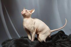 Gato de la raza de Sphynx que se sienta en piel de la piel Fotos de archivo libres de regalías