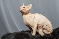 Gato de la raza de Sphynx que se sienta en piel de la piel Fotos de archivo