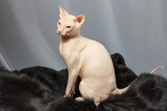 Gato de la raza de Sphynx que se sienta en piel de la piel Imágenes de archivo libres de regalías